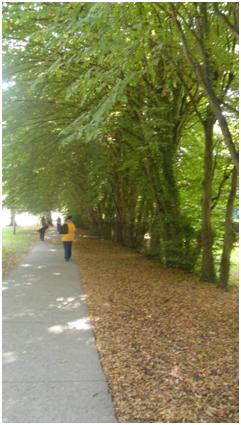 Часто на улицах Франции для озеленения улиц используется только один вид растений