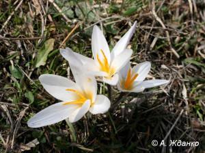 Шафран алатауский – Crocus alatavicus Regel et Semen