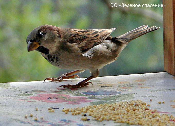 Птица года 2016 — домовый воробей