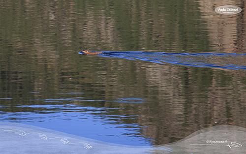 Пловец (фотообои)