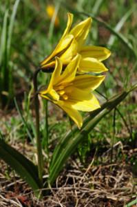 Tulipa_heterophylla_3887_O_Belyalov1