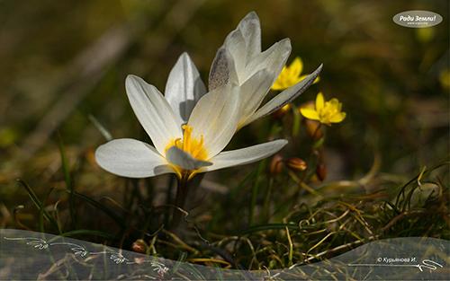 Шафран алатауский (фотообои)