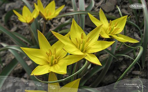 Желтые тюльпаны (фотообои)