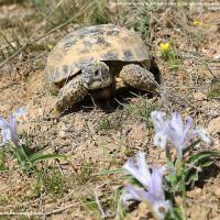 Сохраним среднеазиатскую черепаху!