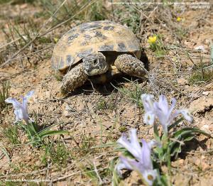 Среднеазиатская черепаха среди первоцветов