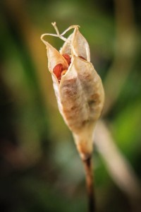 semena-tulpanov