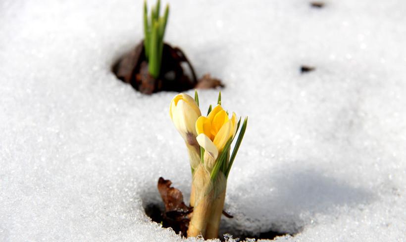 Юннатские первоцветы. Весна 2015 года
