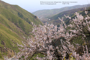 10 Арикос в цвету