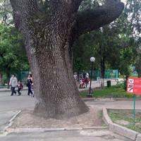 Дуб-патриарх в Алматинском зоопарке