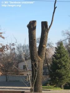 Дерево на пр.Достык и Жолдасбекова IMG_1742
