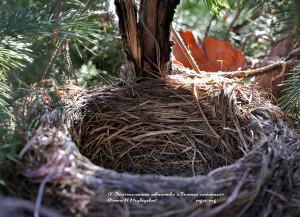 17 марта. Прошлогоднее гнездо дроздов