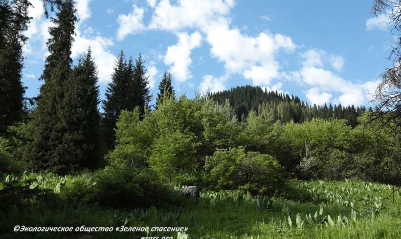 Яблоня Сиверса и другие краснокнижные растения на Кок-Жайляу