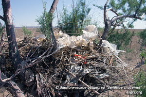 Хищные птицы используют пластиковый мусор для строительства гнезд