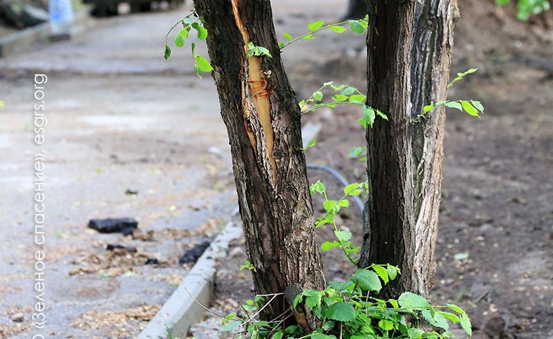 Текущий ремонт, или Очередное уничтожение деревьев?